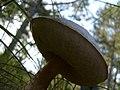 Mushroom (1467445297).jpg