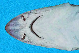 species of shark (Mustelus canis)