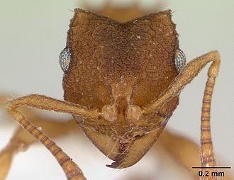 Mycocepurus smithii - Close up of a head of a Mycocepurus smithii