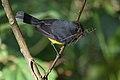 Myioborus miniatus Curi Cancha 02.jpg