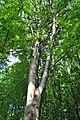 Mykulyntsi-buky-n5-15056877.jpg