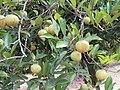 Myristica fragrans - Nutmeg - WikiSangamotsavam 2018, Kottappuram, Kodungalloor (3).jpg