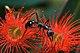 Myrmecia forficata.jpg