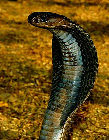 Indian cobra - Wikipedia