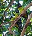 Nanday Parakeets (Nandayus nenday) (31662997571).jpg