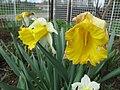 Narcis (10).jpg