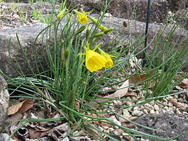 Narcissus bulbocodium3.jpg