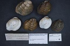 240px naturalis biodiversity center   rmnh.mol.327112   epioblasma propinqua (lea, 1857)   unionidae   mollusc shell