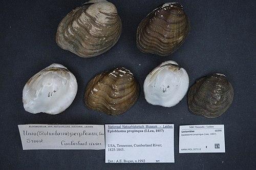 500px naturalis biodiversity center   rmnh.mol.327112   epioblasma propinqua (lea, 1857)   unionidae   mollusc shell