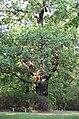 Naturdenkmal Stieleiche im Stadtpark Georgenberg, Spremberg, von Südost 01.jpg