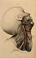 Neck and face; dissection, with blood-vessels and nerves ind Wellcome V0008388EL.jpg
