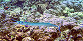 Needlefish is being cleaned by Labroides phthirophagus.jpg