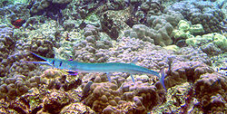 meaning of needlefish