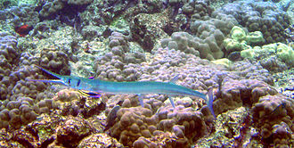 Needlefish - A needlefish is being cleaned by a cleaner wrasse, Labroides phthirophagus.