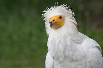 Egyptian vulture - Adult N. percnopterus in captivity showing white plumage.