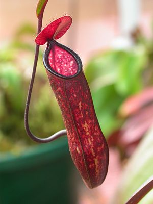 Pitcher plant - Image: Nepenthes muluensis