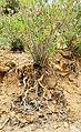 Nerium oleander Tunisia 01.jpg