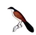 Neue Wirbelthiere zu der Fauna von Abyssinien gehörig (1835) Centropus monachus.png