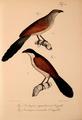 Neue Wirbelthiere zu der Fauna von Abyssinien gehörig (1835) Centropus superciliosus & Centropus monachus.png