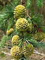 New Larch Cones - geograph.org.uk - 460891.jpg