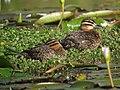 Nomonyx dominicus Pato enmascarado Masked Duck (females) (11331600104).jpg
