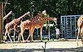 Northern Giraffe ZOO Antwerp.jpg