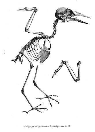 Spotted nutcracker - Skeleton