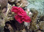 Nudibranchs eggs Andaman.jpg