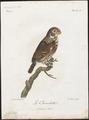 Nyctala funerea - 1796-1808 - Print - Iconographia Zoologica - Special Collections University of Amsterdam - UBA01 IZ18400215.tif