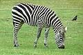 ONTARIO-00509 - Plains Zebra (14656665638).jpg