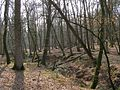 Oak trees in Studley Wood, New Forest - geograph.org.uk - 386619.jpg
