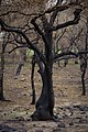 Oak trees that where severely damaged in a wildfire that occurred three weeks earlier. (24486346944).jpg
