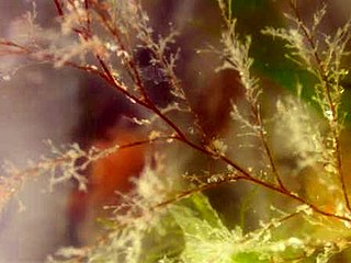 <i>Obelia longissima</i> species of cnidarian