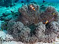 Ocellaris clownfish (Amphiprion ocellaris) and Threespot dascyllus (Dascyllus trimaculatus) (48272091521).jpg