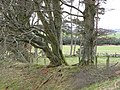 Old hedgerow, Huds Cleugh - geograph.org.uk - 368384.jpg