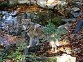 Olderdissen Wolf 20181019 0178.jpg