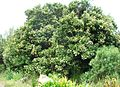 Olea capensis capensis tree in flower cape town.JPG