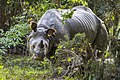 One-Eyed One-Horned Rhino in Kaziranga National Park, Assam.jpg