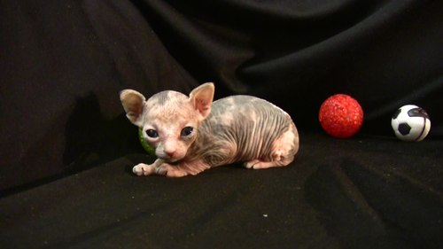 파일:One month age sphynx HD.ogv