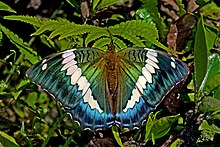 Open wing position of Bassarona durga Moore, 1857 – Blue Duke WLB DSC 4277.jpg