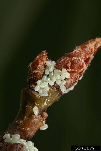 Winter moth - Image: Operophtera brumata eggs