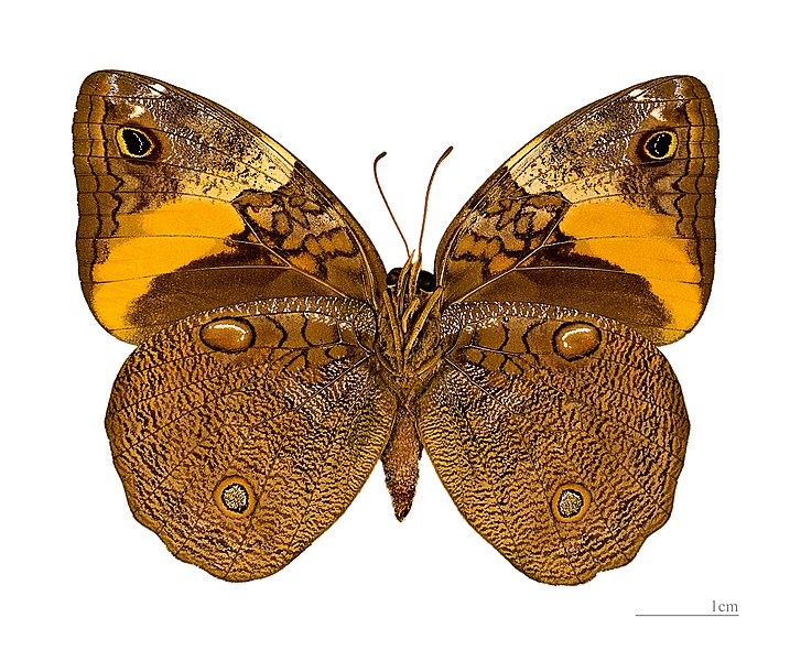 English:  Opsiphanes cassiae  - △ Ventral side