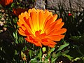 Orange Flower (156416971).jpeg