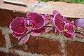 Orchid (45176075245).jpg