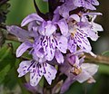 Orchid Dactylorhiza saccifera (44800044195).jpg