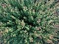 Oregano (Origanum vulgare) - Guelph, Ontario 2014-07-05.jpg