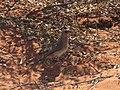 Oreoica gutturalis (39958380052).jpg