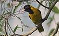 Oriolus xanthornus (Oriolidae) (Black-hooded Oriole), Dhaka, Bangladesh.jpg