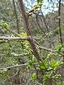 Orixa japonica 2017-04-17 7218.jpg