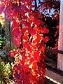 Ornamental grapevine2.jpg